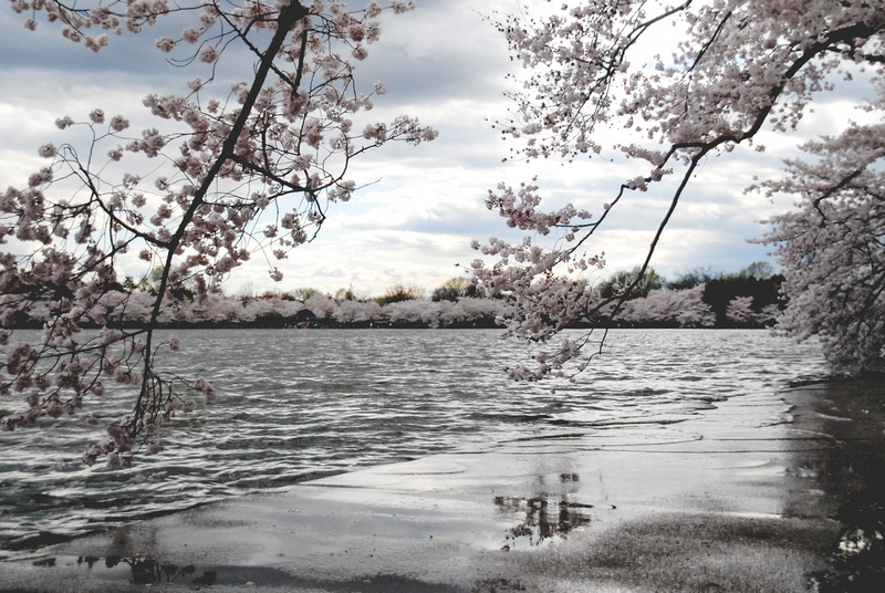 Photos From The Harty Cherry Blossoms In The Rain
